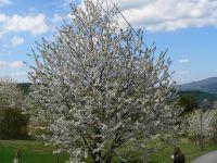 Urlaub über Pfingsten blühender Baum